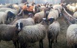 هزار راس گوسفند به دامداران استان سیلزده گلستان تحویل داده شد
