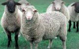 راهکاری برای چندقلو زا شدن گوسفند ایرانی