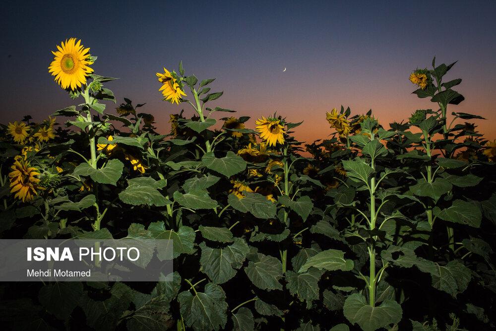مزارع آفتابگردان قزوین