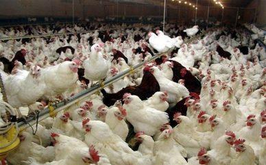 قیمت مرغ تا ۸۵۰۰ افزایش مییابد