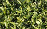 واردات ۳۰۰۰۰ تن چای خشک در چهار ماه