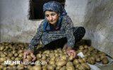 طرح دولت برای رفع کمبود علوفه درگلستان/به دامها سیب زمینی می دهیم