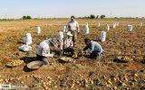 برداشت سیبزمینی در همدان
