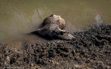 مرگ گاومیشها در «هورالعظیم» خشک (عکس)