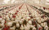 گله مرغداران از کیفیت پایین ذرتها/ ساماندهی صف تقاضای جوجه یکروزه